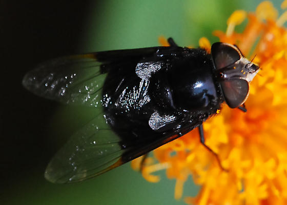 Mexican  Cactus Fly - Copestylum mexicanum - female