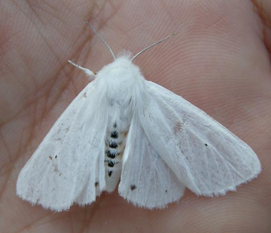 Virginia Tiger Moth - Spilosoma virginica