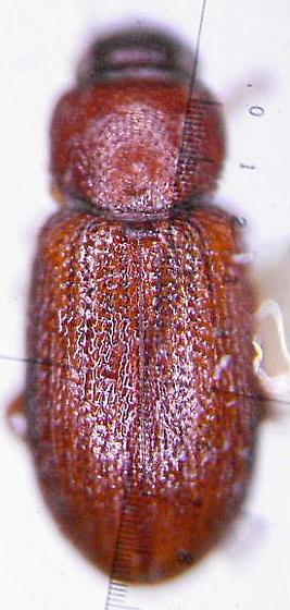 Latridid - Corticaria ferruginea