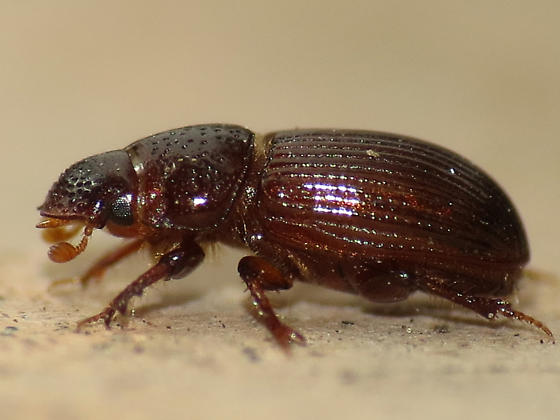 small beetle - Platytomus