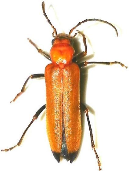 Coleoptera - Nacerdes melanura