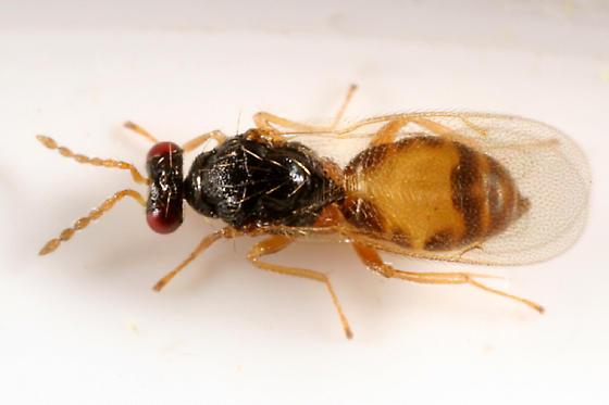 yellow wasp - Euplectrus