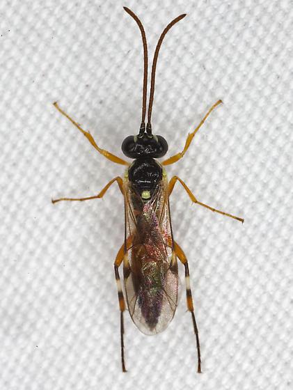 Wasp IMG_1254 - Diplazon laetatorius - female