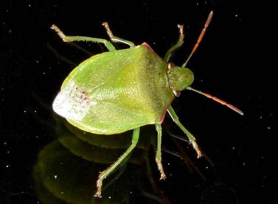 Stink Bug? - Thyanta custator