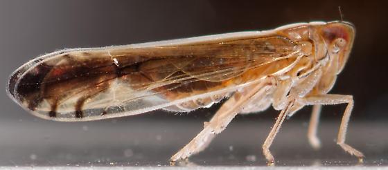 delphacid - Stenocranus vittatus