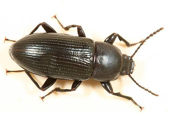Tenebrionid from larva to adult - Centronopus calcaratus