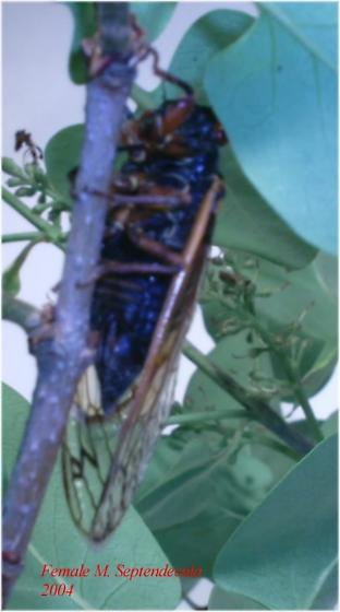 Magicicada septendecula - female