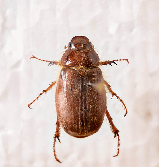 Brown Scarab... - Phyllophaga