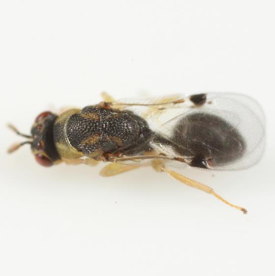 Eurytomid ex Andricus pattoni - Sycophila