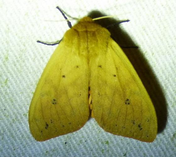 Pyrrharctia isabella– Isabella Tiger Moth - Pyrrharctia isabella