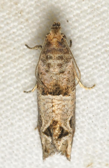 Diamond Moth - Sonia constrictana