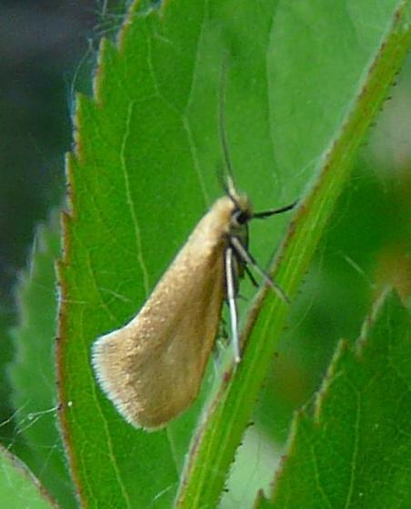 Golden Micro moth - Lampronia sublustris