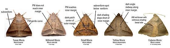 Comparison of Mocis Moths - Mocis