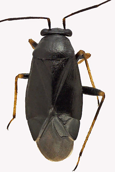Plant Bug - Slaterocoris stygicus