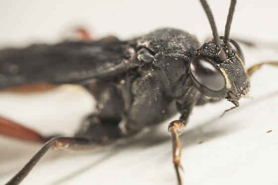 Limonethe maurator wasp - Limonethe maurator
