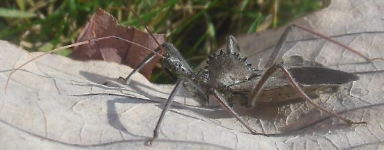 Wheel Bug (Arilus cristatus) - Arilus cristatus