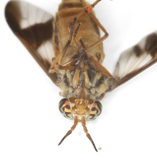 Tabanidae - Chrysops - female