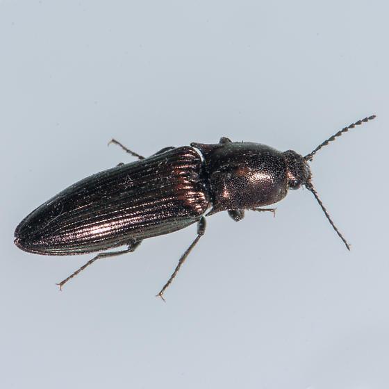 Unknown Beetle - Nitidolimonius resplendens