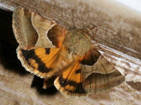Jaguar flower moth