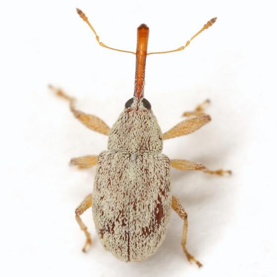 Anthonomus testaceosquamosus Linell - Anthonomus testaceosquamosus