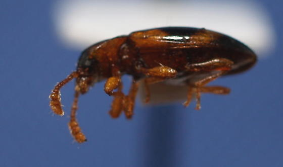 P. pulchella - Phymaphora pulchella - female