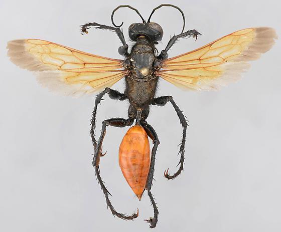 Wasp, spread dorsal - Palmodes praestans - female