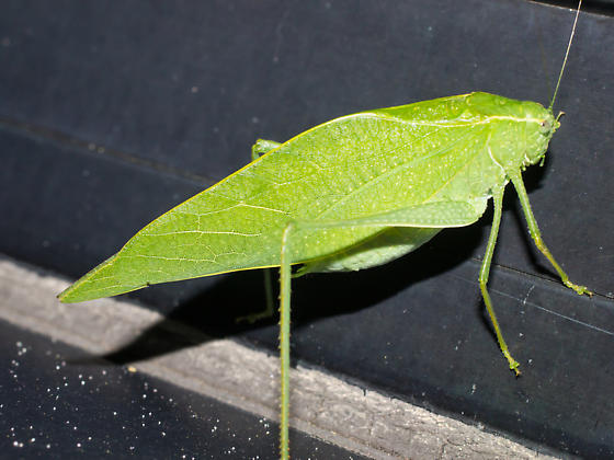 Katydid - Microcentrum rhombifolium - male