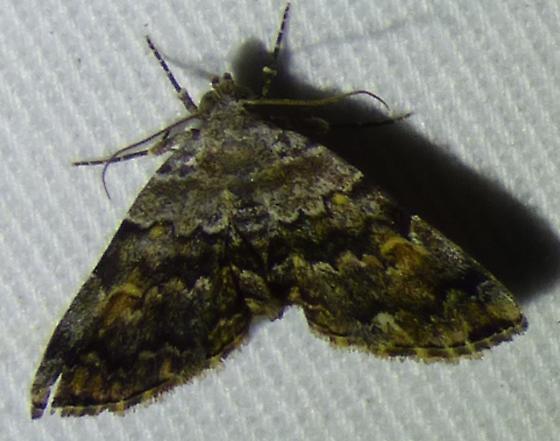 Idia americalisAmerican Idia Moth - Idia americalis