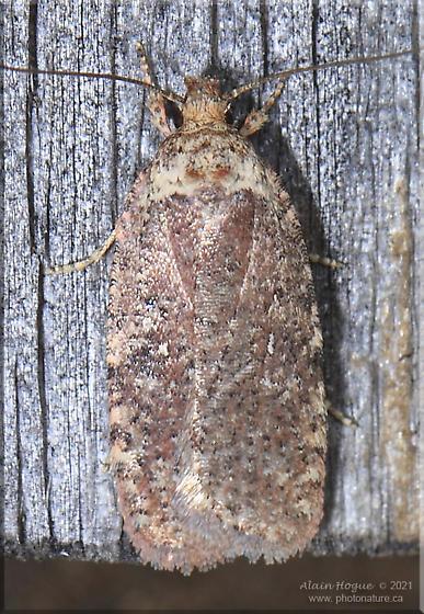 Agonopterix clemensella