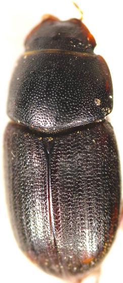 Beetle - Irrasinus stupidus