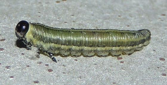 Sawfly larvae? - Neodiprion fabricii