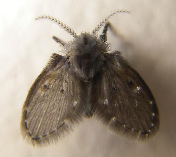 Moth Fly - Clogmia albipunctata