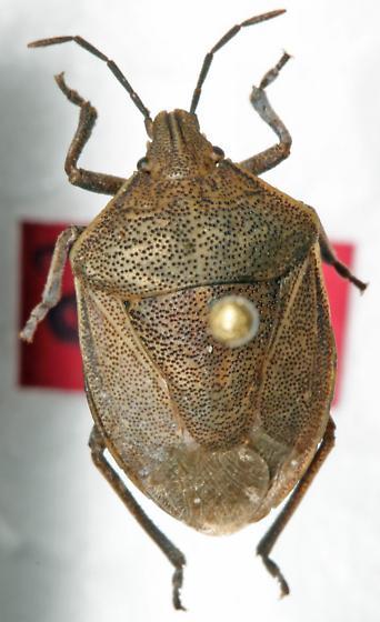 Pentatomidae - Hymenarcys crassa