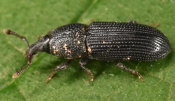Black weevil - Cossonus