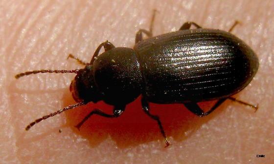 punctuated blackish Beetle with long slender antennae, bulging eyes, rounded pronotum edges, and striated elytra - Helops rugicollis