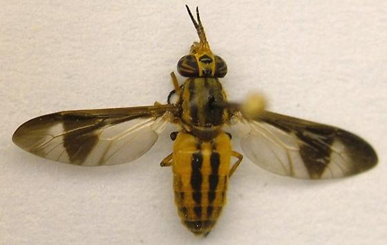Deer Fly - Chrysops pikei - female