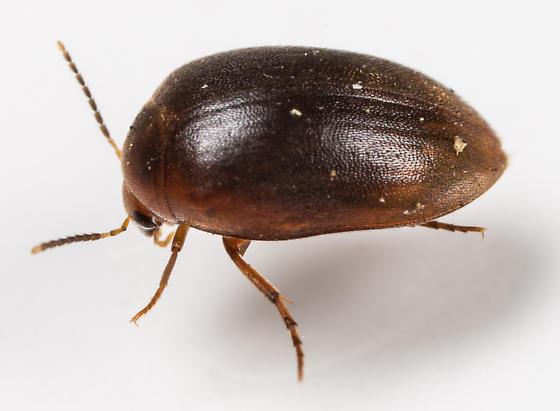 Beetle - Nycteus oviformis
