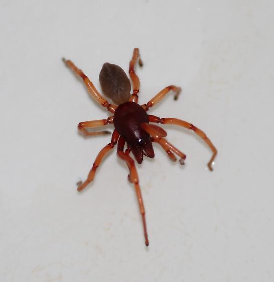 Spider with reddish legs - Dysdera crocata