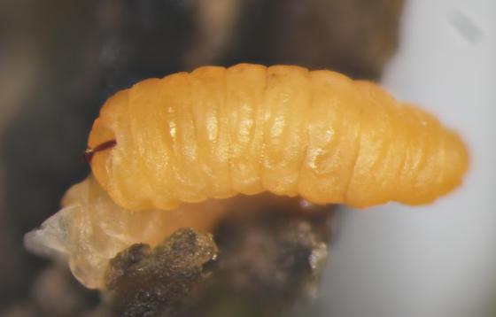 Cecidomyiidae, elliptical stem gall on Stachys, larva