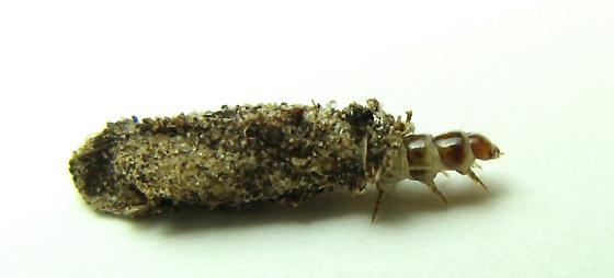 Bagworm - Dahlica triquetrella