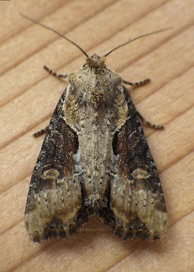 Noctuidae: Apamea ophiogramma - Lateroligia ophiogramma