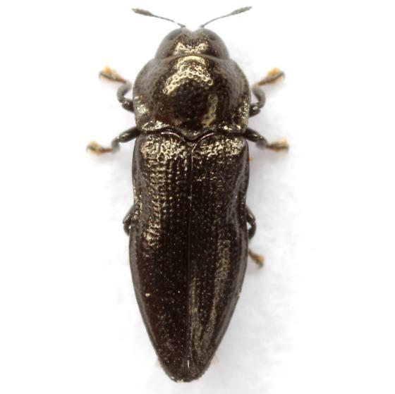 Aphanisticus cochinchinae seminulum Obenberger - Aphanisticus cochinchinae