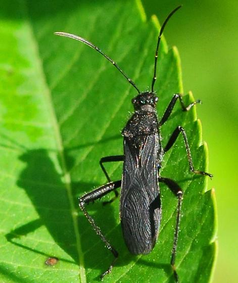 Alydidae - Broad-headed Bugs Alydus eurinus - Alydus eurinus