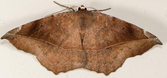 Curve Toothed Geometer - Eutrapela clemataria