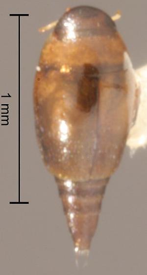 Hydroscapha natans LeConte - Hydroscapha natans