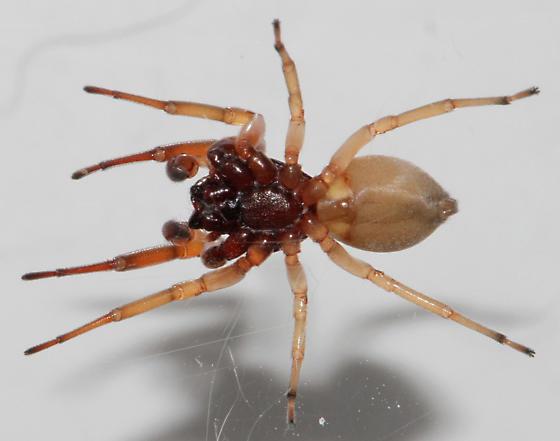 T. volutus - ventral - Trachelas volutus - male