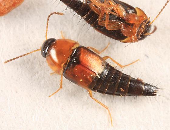 rove beetle - Tachyporus dispar
