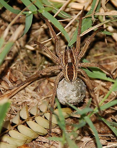 Spider and Egg ball - Rabidosa rabida