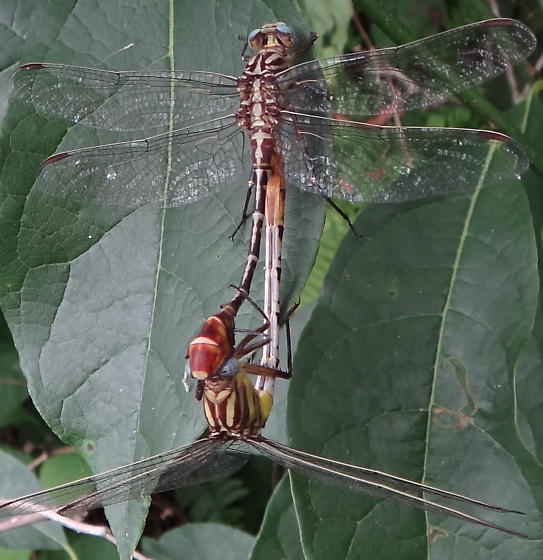 Flag-tailed Spinyleg - Dromogomphus spoliatus - male - female