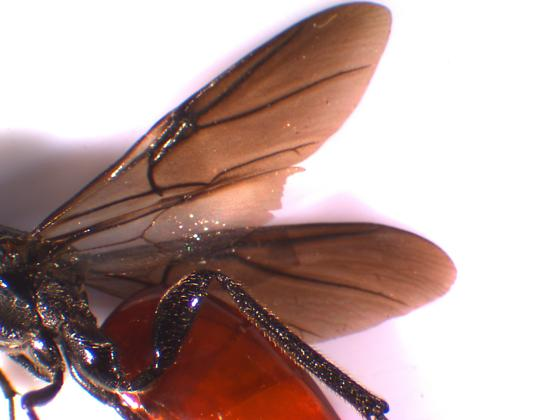 Hymenoptera: Parasitica - Ibalia leucospoides